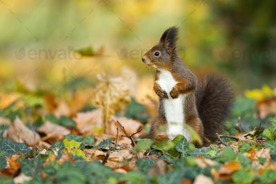 Smiling red squirrel standing in the autumn colorful environment