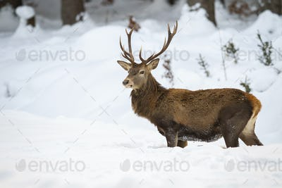 Sturdy male of red deer with fluffy fur wading through the snow