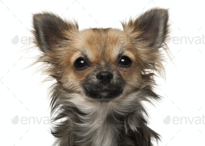 Chihuahua, 7 months old, in front of white background