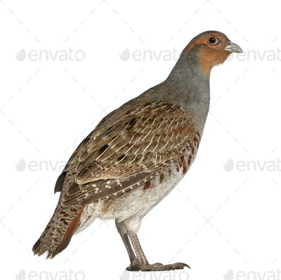 Portrait of Grey Partridge, Perdix perdix