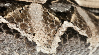Gaboon viper or  butterfly adder or forest puff adder or  swampjack - Bitis gabonica (poisonous)