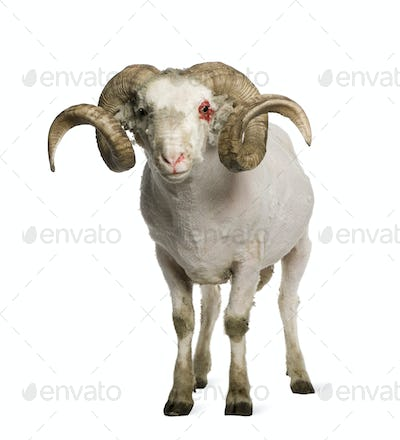 Portrait of shaved Arles Merino ram, 1 year old, in front of white background
