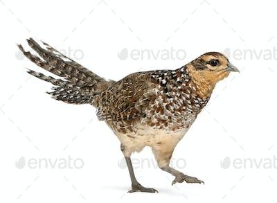 Female Reeves's Pheasant, Syrmaticus reevesii