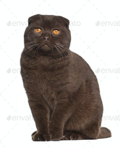 Portrait of Scottish Fold cat, 1 year old, sitting in front of white background