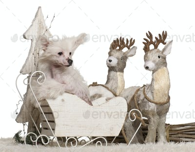 Chinese Crested Dog puppy, 4 months old, in Christmas sleigh in front of white background