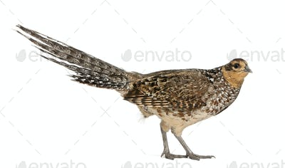 Portrait of Female Reeves's Pheasant, Syrmaticus reevesii, can grow up to 210 cm long
