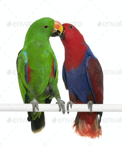 Male and Female Eclectus Parrots, Eclectus roratus, perching in front of white background