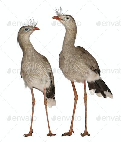 Male and Female Red-legged Seriema or Crested Cariama, Cariama cristata