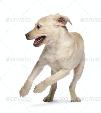 Young Labrador Retriever, 4 months old