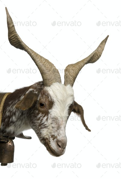 Close-up of female Rove goat, 3 years old, standing in front of white background