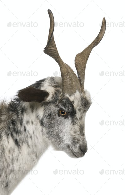 Close-up headshot of Rove goat, 6 years old, in front of white background