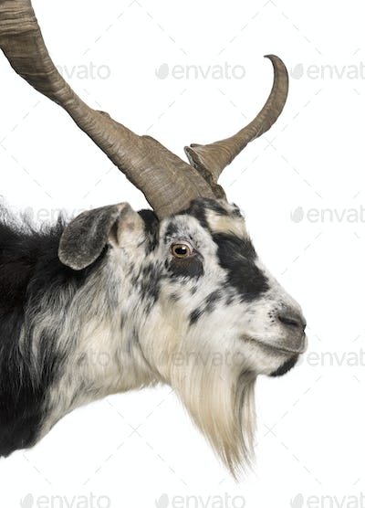 Close-up headshot of Rove goat, 5 years old, standing in front of white background