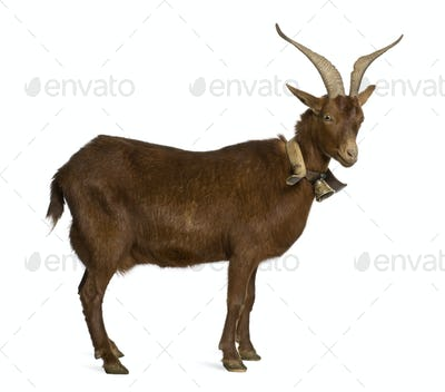 Rove goat, 4 years old, standing in front of white background