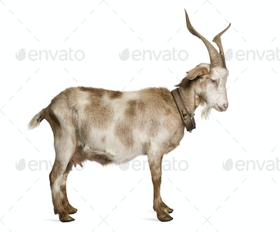 Female Rove goat standing in front of white background