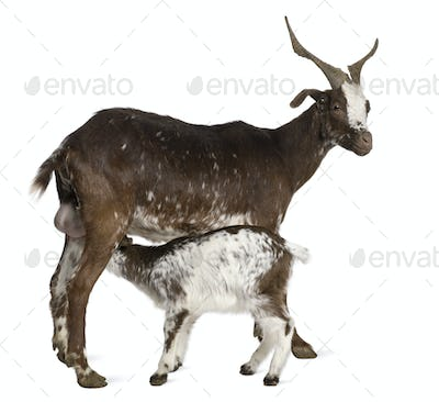 Female Rove goat with young goat drinking underneath in front of white background
