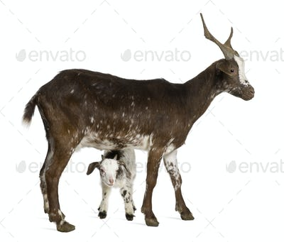 Female Rove goat with kid standing in front of white background