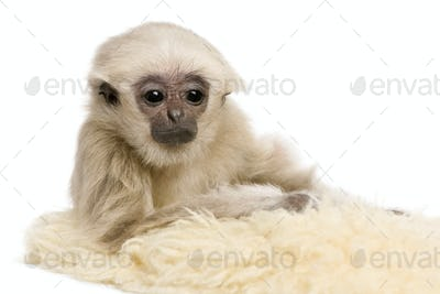 Young Pileated Gibbon, 4 months old, Hylobates Pileatus, on rug in front of white background