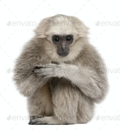 Young Pileated Gibbon, 1 year, Hylobates Pileatus, sitting in front of white background