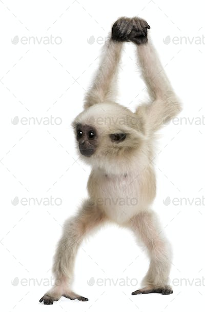 Young Pileated Gibbon, 4 months old, Hylobates Pileatus, walking in front of white background