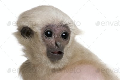 Young Pileated Gibbon, 4 months old, Hylobates Pileatus, in front of white background