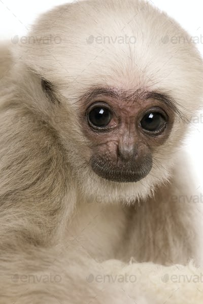 Young Pileated Gibbon, Hylobates Pileatus, 4 months old, in front of white background