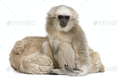 Portrait of young Pileated Gibbon, 1 year old, in front of white background