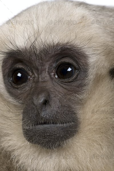 Close-up of Young Pileated Gibbon, 1 year , Hylobates Pileatus, in front of white background