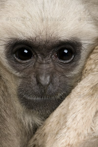 Close-up headshot of young Pileated Gibbon, 4 months old, in front of white background