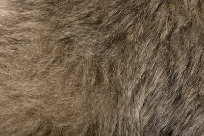 Close-up of Young Pileated Gibbon's fur, 1 year , Hylobates Pileatus
