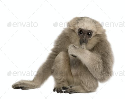 Young Pileated Gibbon, 4 months old, sitting in front of white background