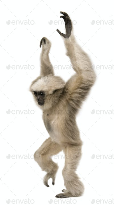 Young Pileated Gibbon, 4 months old, standing with arms up in front of white background