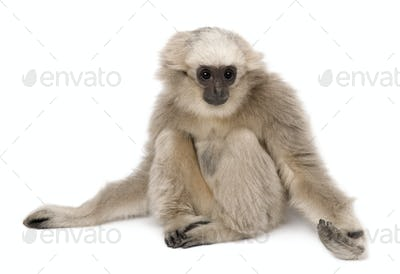 Young Pileated Gibbon, 4 months old, sitting with arms out in front of white background