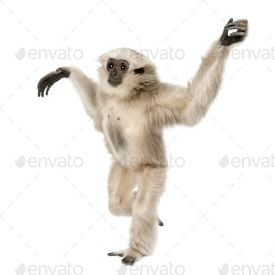 Young Pileated Gibbon, 1 year old, Hylobates Pileatus, walking in front of white background