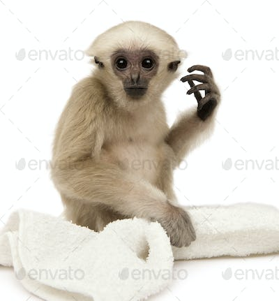 Young Pileated Gibbon, 1 year old, Hylobates Pileatus, sitting with rug in front of white background