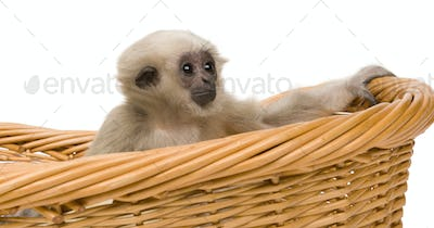 Young Pileated Gibbon, 1 year old, Hylobates Pileatus, sitting in basket front of white background