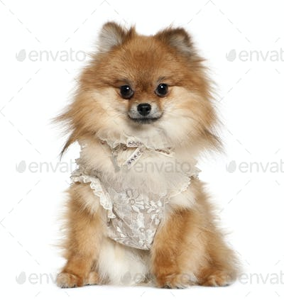 German Spitz dressed in lace, 15 months old, sitting in front of white background