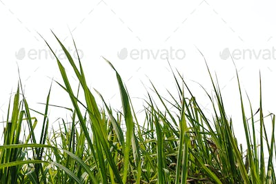Sugar cane leaf with isolated on a white background