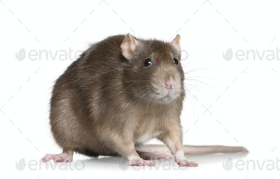 Rat, 1 year old, in front of white background