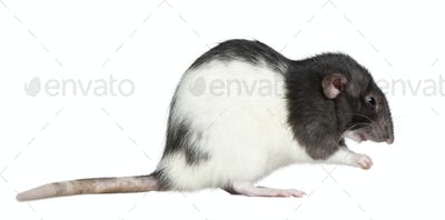 Side view of rat, 1 year old, in front of white background