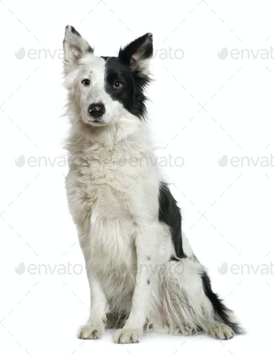 Border Collie, 4 years old, sitting in front of white background