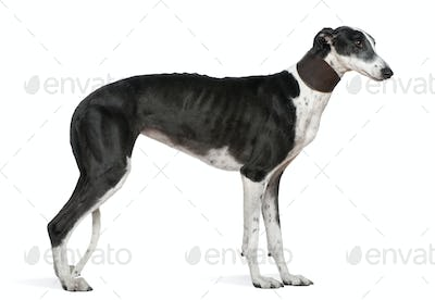 Galgo Espanol dog, 5 years old, standing in front of white background