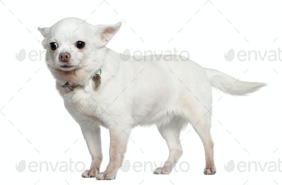 Chihuahua, 9 years old, standing in front of white background