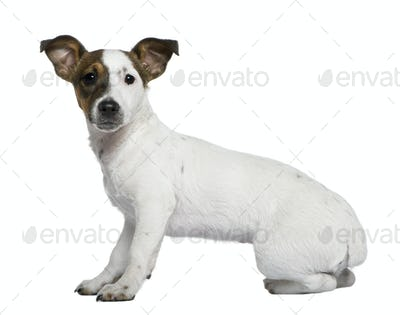 Jack Russell Terrier, 5 months old, in front of white background