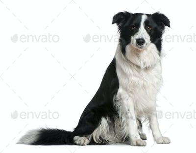 Border Collie, 15 months old, sitting in front of white background