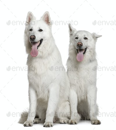 Two Swiss Shepherd dogs, 2 and 3 years old, sitting in front of white background