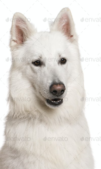 Close-up of Swiss Shepherd dog, 3 years, in front of white background
