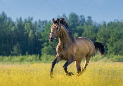 Andalusian horse in summer blooming field.