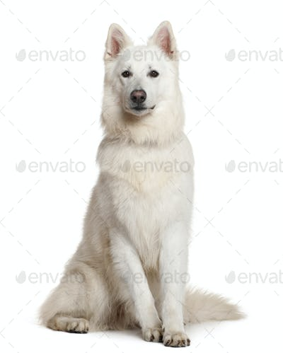 Swiss Shepherd dog, 3 years, sitting in front of white background