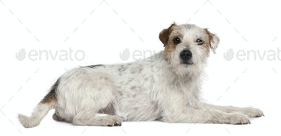 Parson Russell Terrier, 6 and a half years old, lying in front of white background