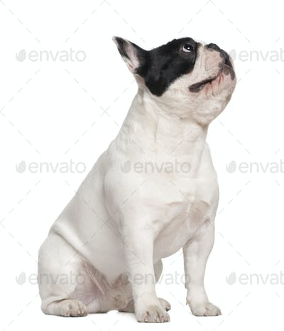 French bulldog sitting on table and looking up, 1 and a half years old, in front of white background